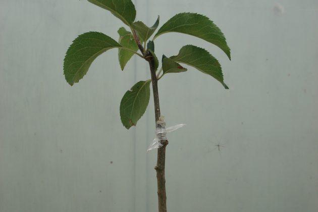 Fruit tree grafting