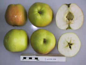 Dr Hogg apple