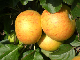 Golden Bounty apple from Sussex
