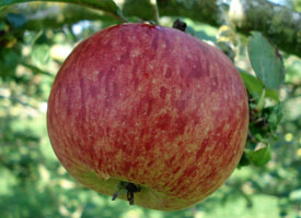 Hawkridge apple