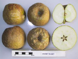 Knobby Russet apple