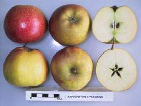 Mannington's Pearmain apple