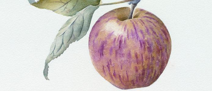 https://brightonpermaculture.org.uk/wp-content/uploads/fruit/applevarieties/slideshow/sussexapplevariety2.jpg