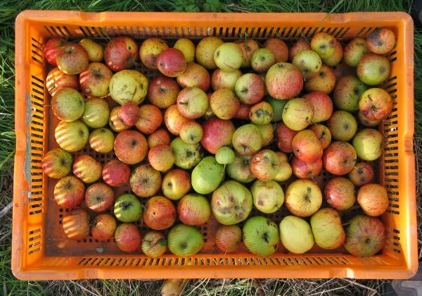 Apples & pears going to waste?
