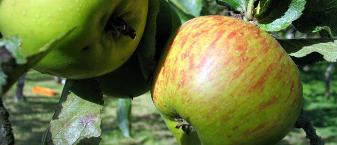https://brightonpermaculture.org.uk/wp-content/uploads/fruit/sussexapples/sussexapples08.jpg