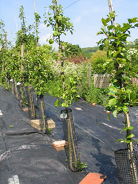 Sussex apple trees