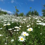 oxeye daisies at Racehill Orchard