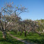 news - Homefarm_Orchard_cc_Sarah_Davenport